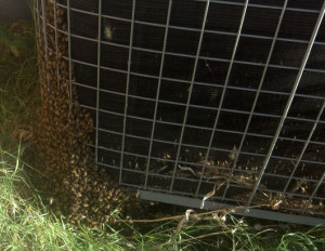 Bees on AC Unit